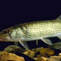 Chain Pickerel or Southern Pike - Esox niger
