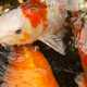 Close-up of Koi Fish