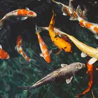 Colored Koi fish in Pond