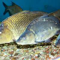 Commons Carp in Exhibit - Cyprinus carpio