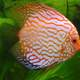 The discus Fish - Symphysodon