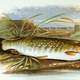 Drawing of a Northern Pike