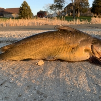 Fat Channel Catfish Wallowing in its defeat