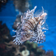 Lionfish swimming in the Aquarium