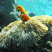 Maldive anemonefish - Amphiprion nigripes