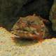 Orange Toadfish