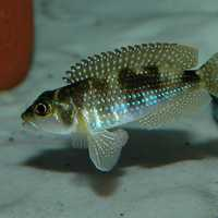 Pearly Ocellatus - Lamprologus stappersi