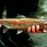Rainbow Trout - Oncorhynchus mykiss