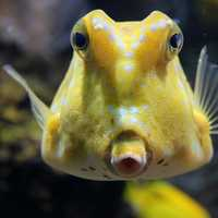 Silly looking yellow fish