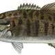 Smallmouth Bass - Micropterus dolomieu