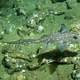 Spotted Ratfish - Hydrolagus colliei