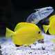 Yellow and Silver Marine Fish