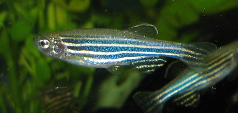 zebrafish point to ancient origin of sleep