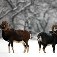 A Pair of Rams in the winter