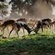 Antelopes Locking Horns fighting