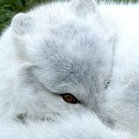 Arctic Fox Curled up in a ball