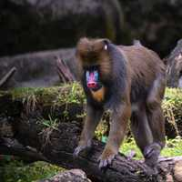 Baboon walking over log