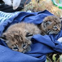 Baby Bobcats wrapped in blue blanket