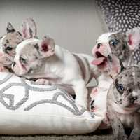 Baby Bulldogs on the pillow