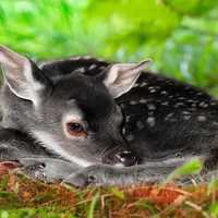 Baby Fawn curled up on the ground