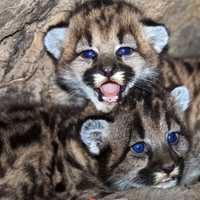Baby Mountain Lion Kittens
