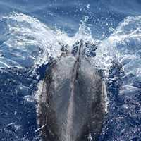 Back of Bottlenose Dolphin Slicing through the Water