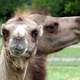 Bactrian Camels - Camelus bactrianus