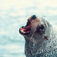 Seal Barking