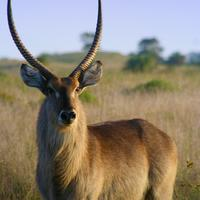 Beautiful Impala Antelope in the wild