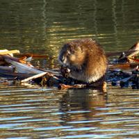 Beaver on top of his dam
