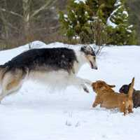 Big Dog playing with two small dogs in the snow