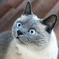 Cat with Large glossy blue eyes