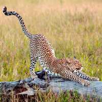 Cheetah Stretching on a piece of wood