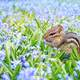Chipmunk in Violet flower fields