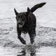 Chocolate Labrador Running in the water