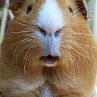 Close up of a face of a Guinea Pig -  Cavia porcellus