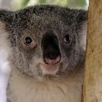 Close-up of a Koala - Phascolarctos cinereus