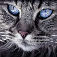 Close up of cat's face with blue eyes
