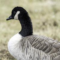 Close up of head and body of Canadian Goose
