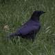 Crow on the Ground in the Grass