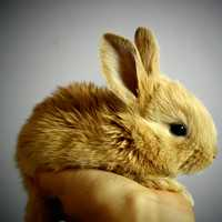 Cute Brown Bunny being held in hand