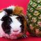 Cute Guinea Pig besides a Pineapple