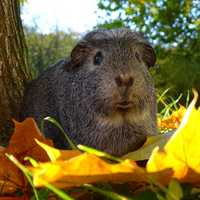 Cute Guniea Pig in the leaves