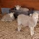 Cute Lambs in a barn