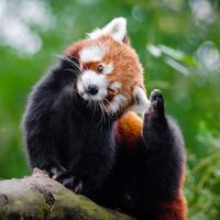 Cute Red Panda - Ailurus fulgens in a tree
