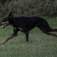 Dog running across the field