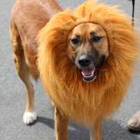 Dog with Lion Mane