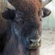 Face of an American Bison
