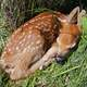 Fawn sleeping on grass