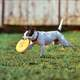 Dog Catching Frisbee